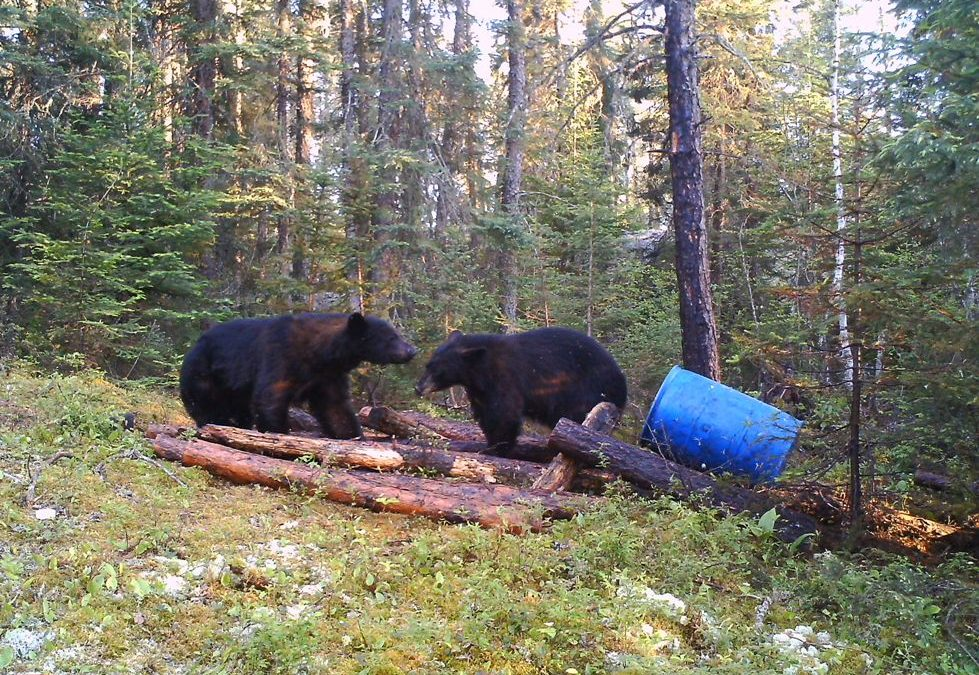 Is chocolate in bear baits killing bears?