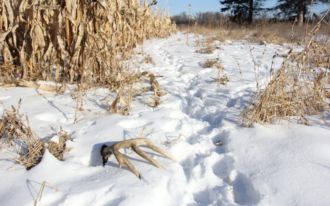 Whitetails: Start Shed Hunting Early