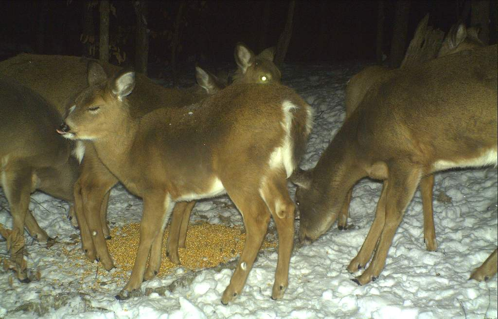 Is there value or harm in winter deer feeding?