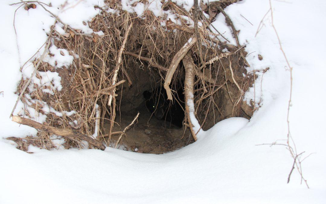 What's Hibernation Like for a Bear?