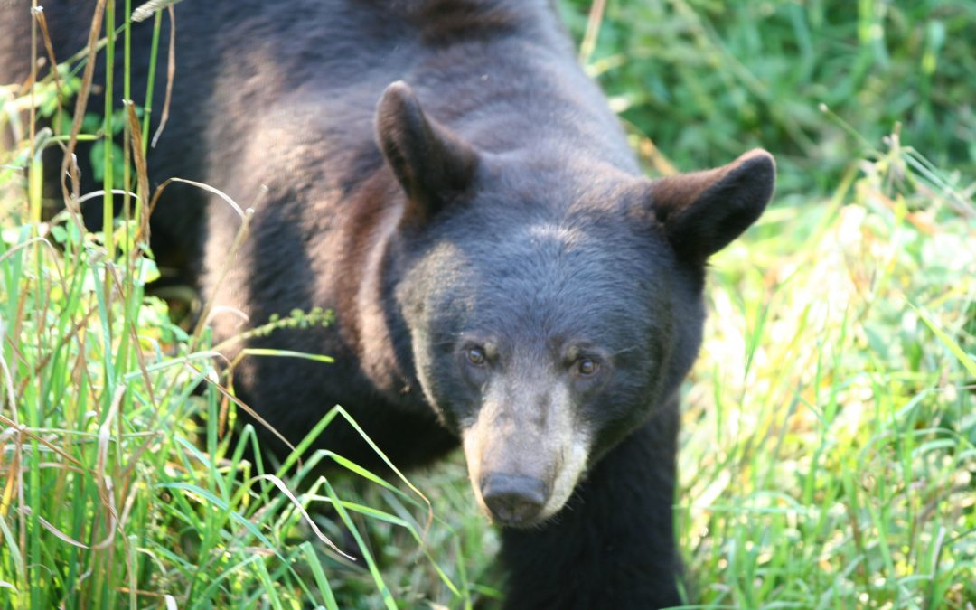 Do black bears have poor eyesight? The truth may surprise you.