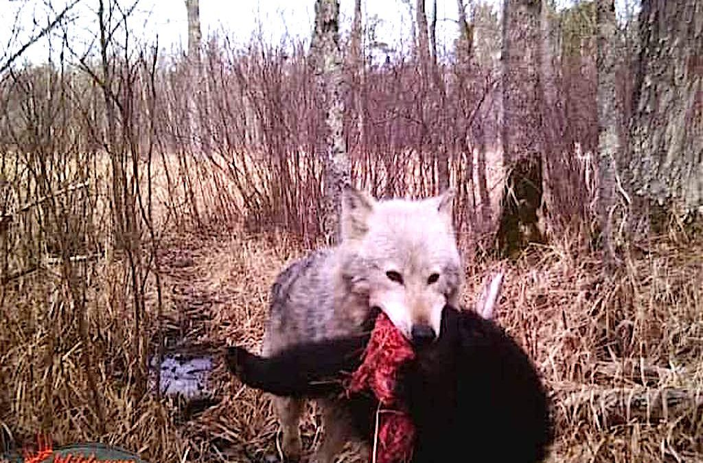 The Surprising Relationship Between Wolves & Bears