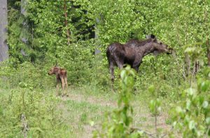 High wolf numbers are taking a huge toll on a struggling moose population. Unfortunately, emotion is trumping common sense in wolf management.