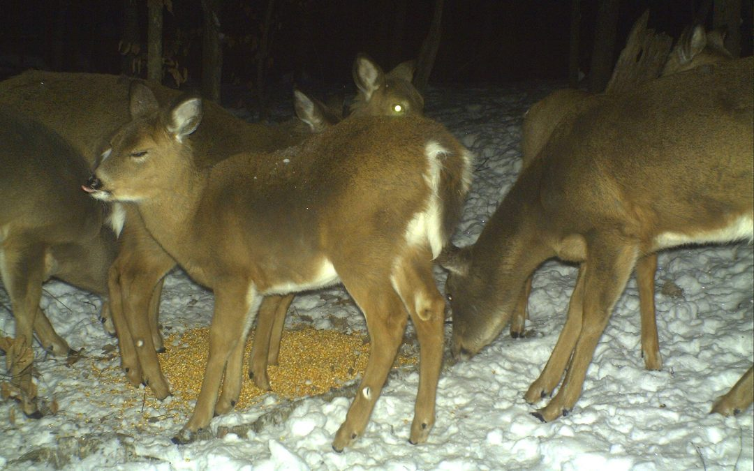 Should You Feed Deer in the Winter?