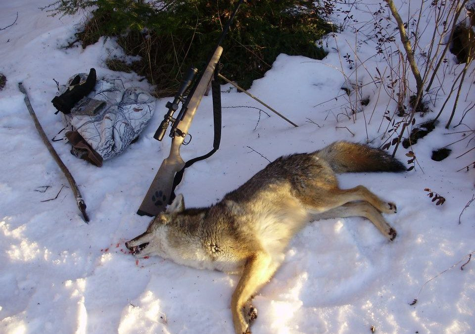 Control Coyotes to Improve Deer Hunting – Part 2