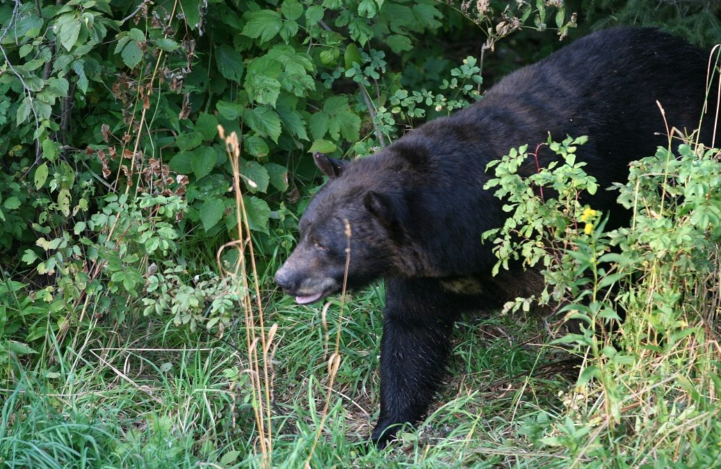Bring bears to your baits quickly and keep them there